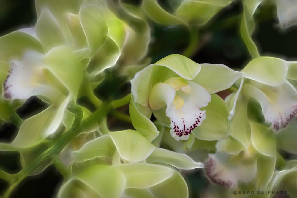 cymbidium orchids green
