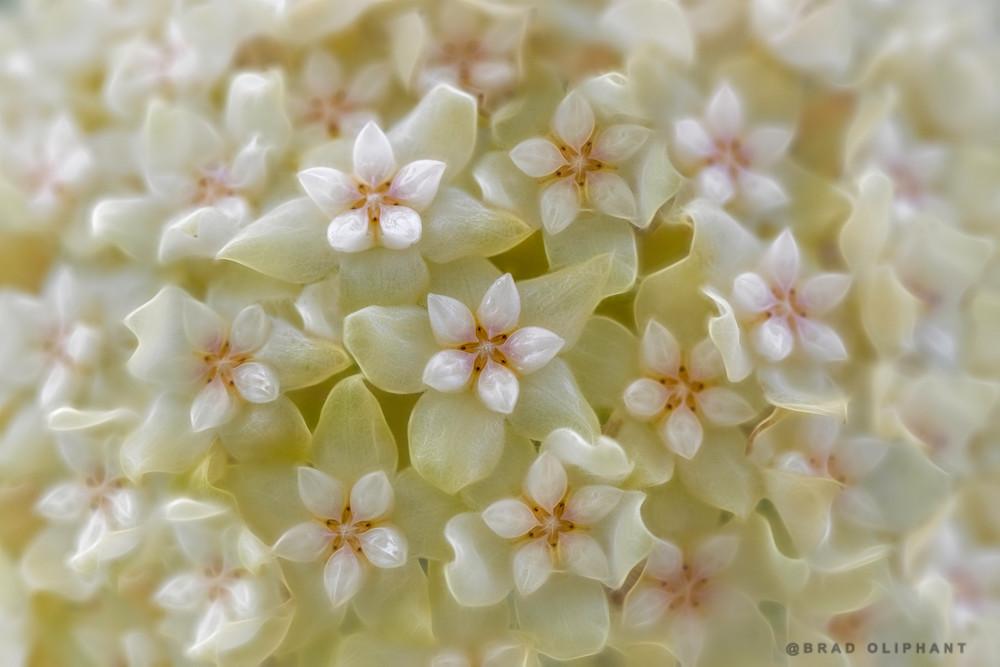 hoya bella white orchids flowers