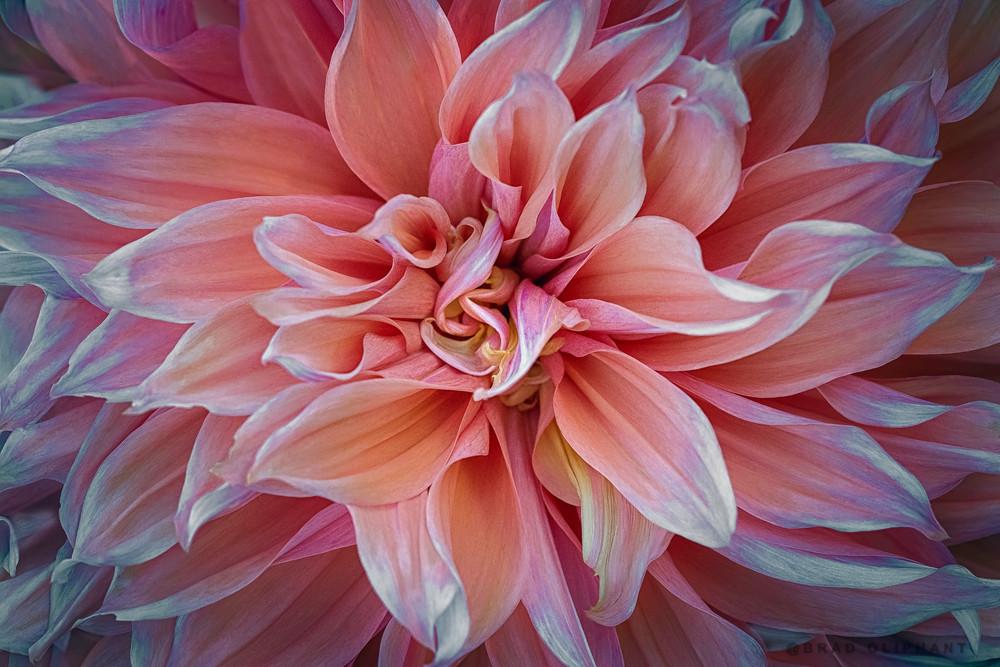 dahlia, flower, macro, petals, sharp, beauty, petals, blossom,
