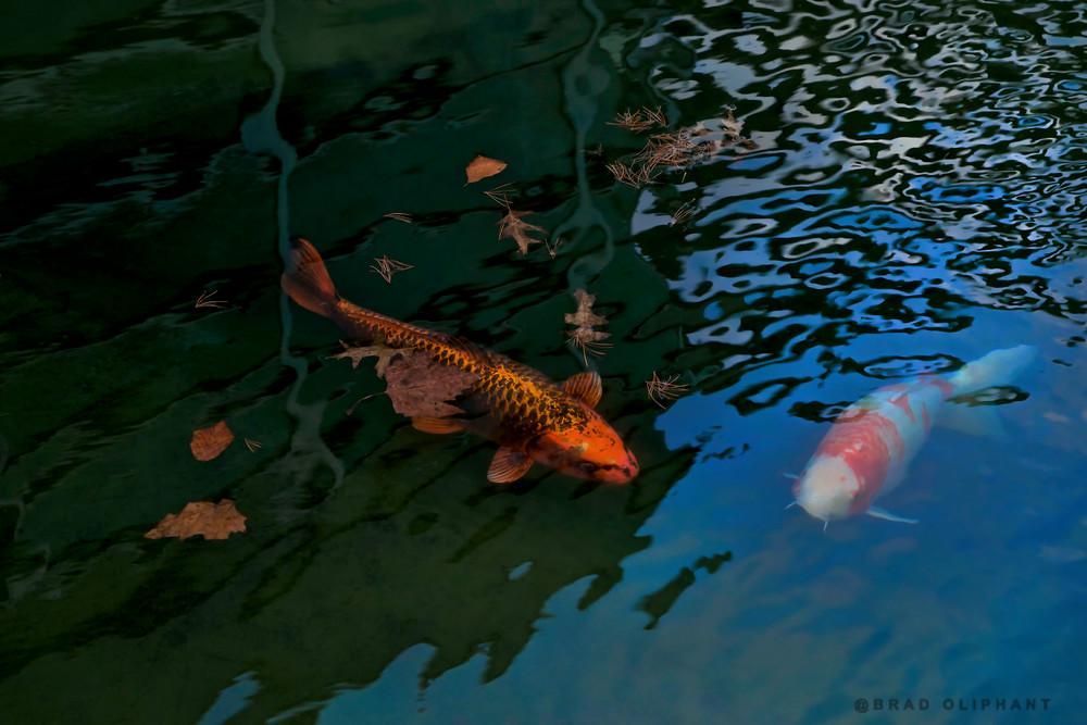 Koi fish swimming, Japanese art, Expensive fish to buy, revered, water photographs,