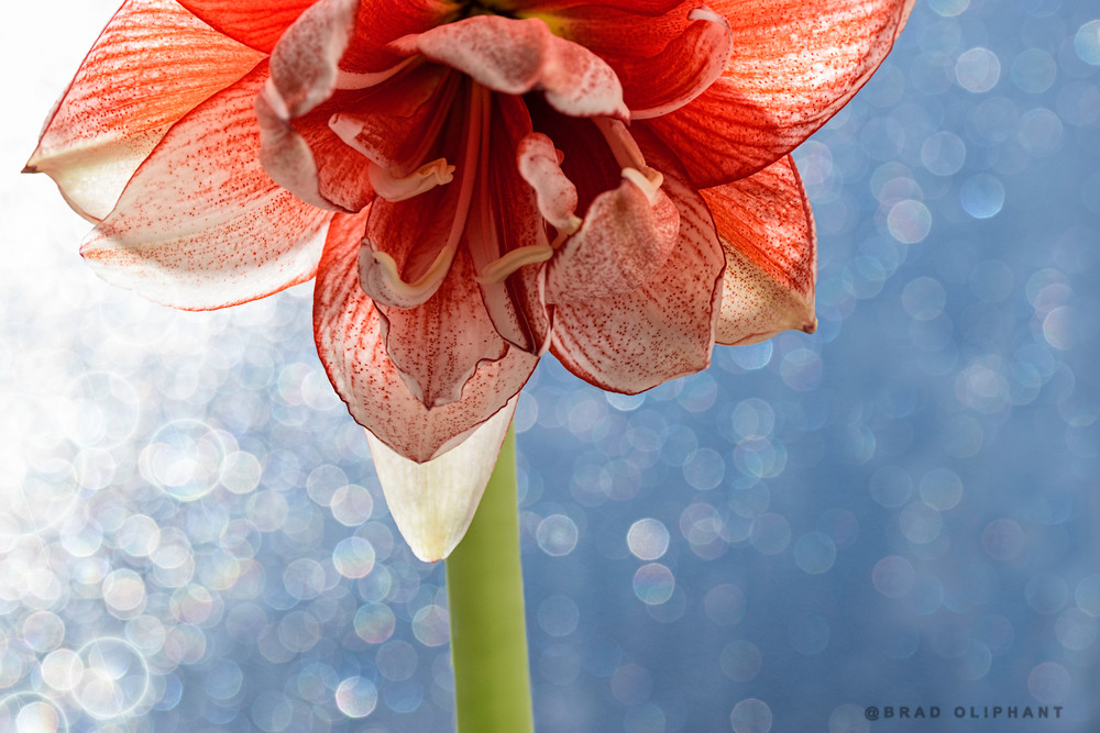 art photographs of Amaryllis flowers, photographs of red flowers, Brad Oliphant photographs of Amaryllis flowers,