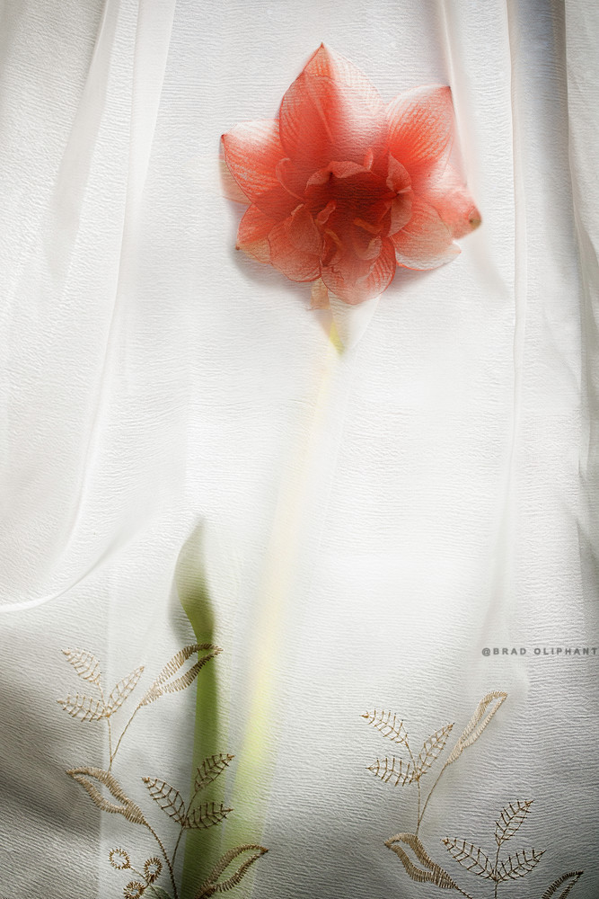 studio photography of flowers, red Amaryllis flowers, art photographs by Brad Oliphant,