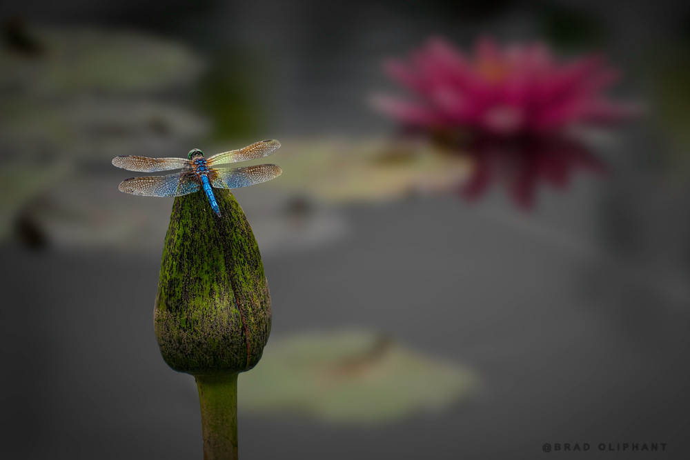 lily pads, botanical photographs if lilies, insect photography, art photographs if lily pads,