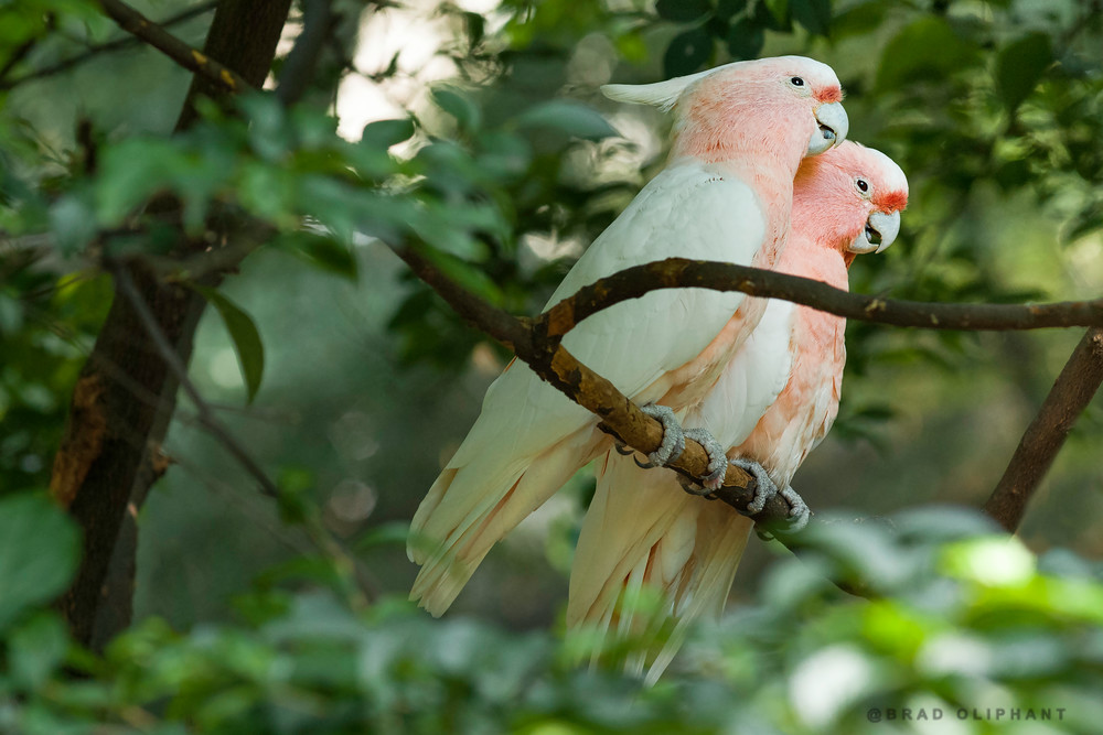 birds of feather, art photographs of parrot birds, mating birds, bird photography of parrots and cockatoos,