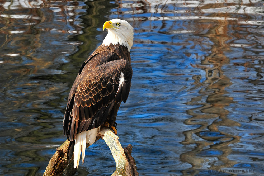 wildlife photography, art photographs of birds, birds of feather, bald eagles and hawks,