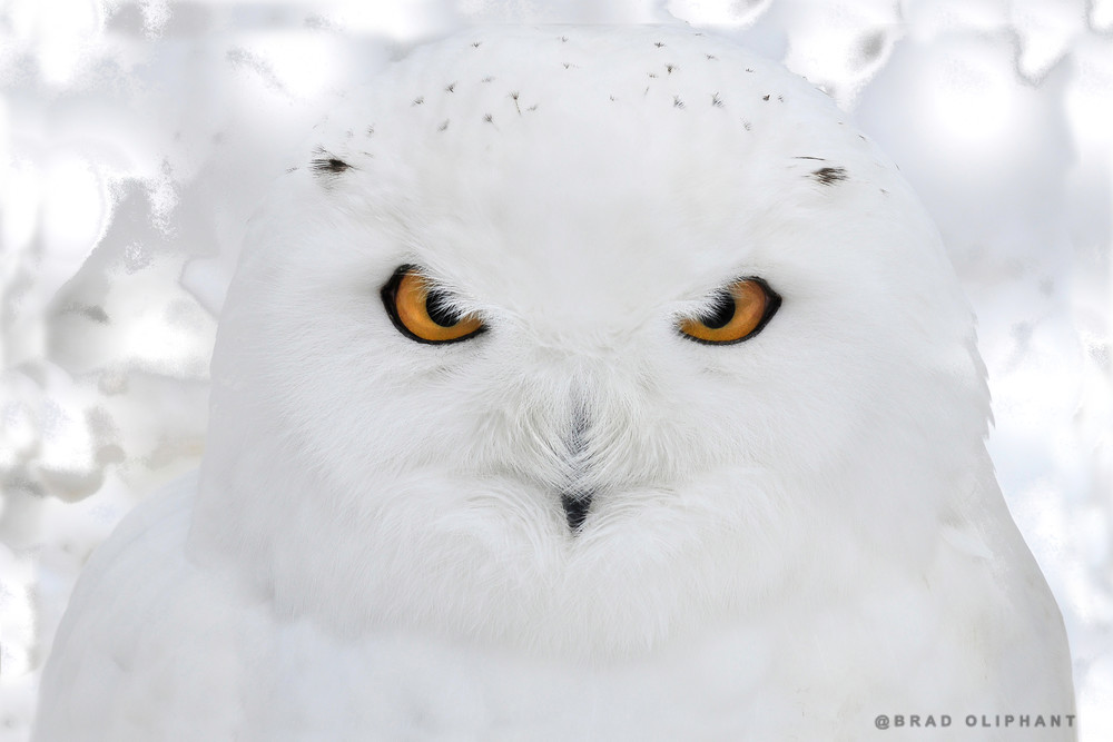 photographs of owls, snow owl pictures, art photographs of wildlife and owls,
