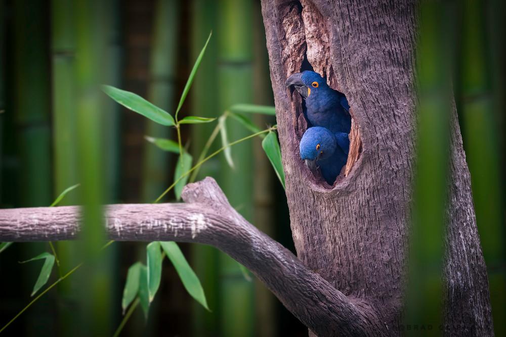 photographs of mating hyacinth Macaws, art photographs of wild Macaw birds, nesting and mating birds,