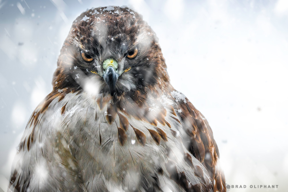 photographs of wildlife in winter snow, art photographs of red tailed hawks, winter images of hawks and eagles,