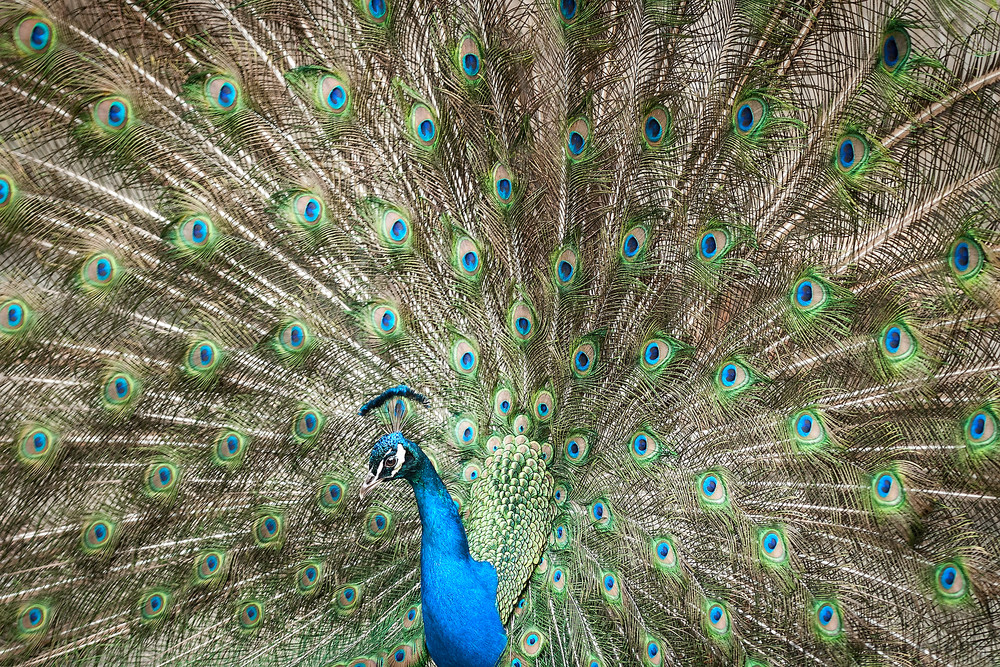 peacock photography, wildlife photography of peacock birds, art photographs of birds and peacock feathers,