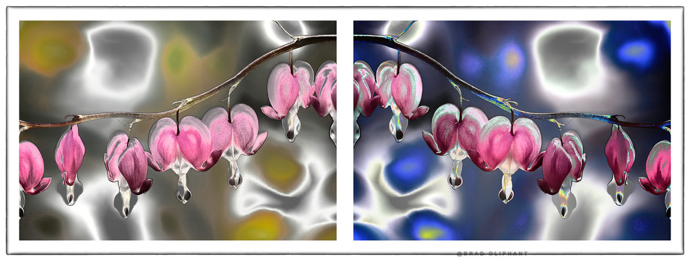 Bleeding Heart flower photographs, art photography of Bleeding Heart flowers,