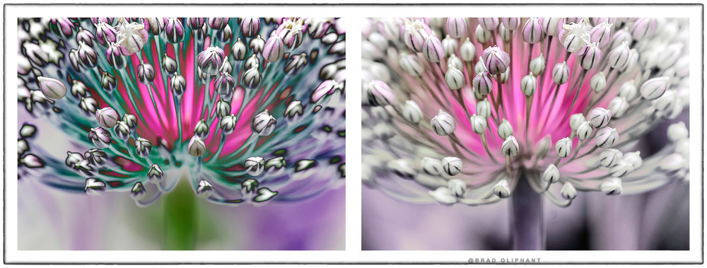 art photographs of allium flowers, Allium flowers by Brad Oliphant, solarized Allium flowers