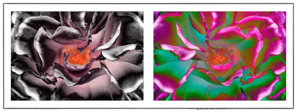 photographs of pink roses, art photographs of rose flowers, solarized rose flowers,