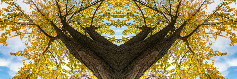 art photographs of Ginkgo Biloba trees,  abstract kaleidoscope photographs, yellow leaves from Ginkgo trees,