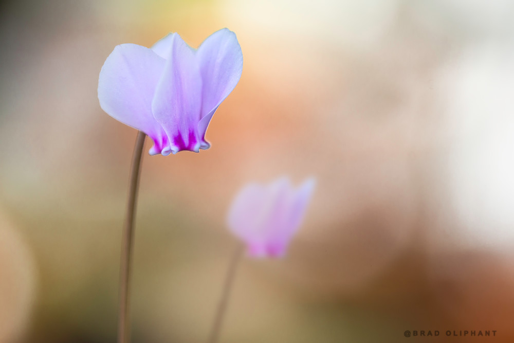 art photographs of purple Cyclamen flowers, Cyclamen flowers, pictures of purple Cyclamen Flowers,