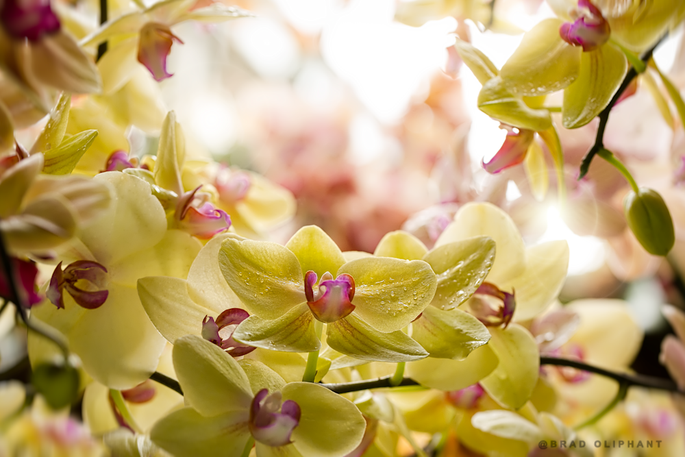 art photographs of Dendrobium Orchid flowers, Yellow Dendrobium orchids, pictures of yellow orchid flowers,