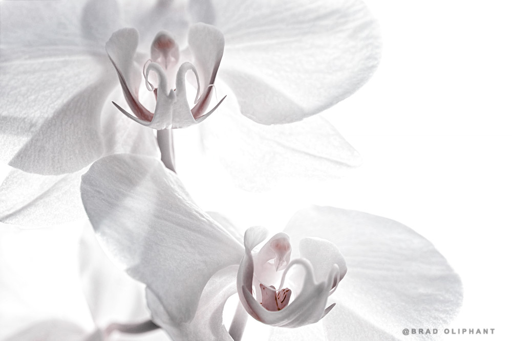 art photographs of white orchids, white Dendrobium Orchids, pictures of white Dendrobiums,
