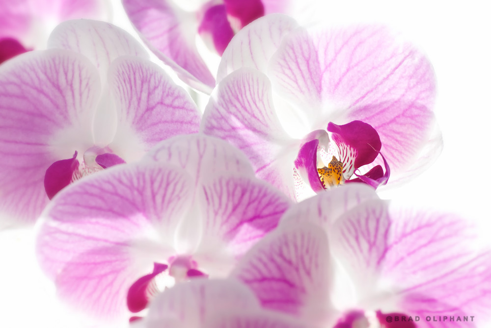 pictures of purple Moth Orchids, art photographs of Phalaenopsis Orchids, Phalaenopsis Orchids,