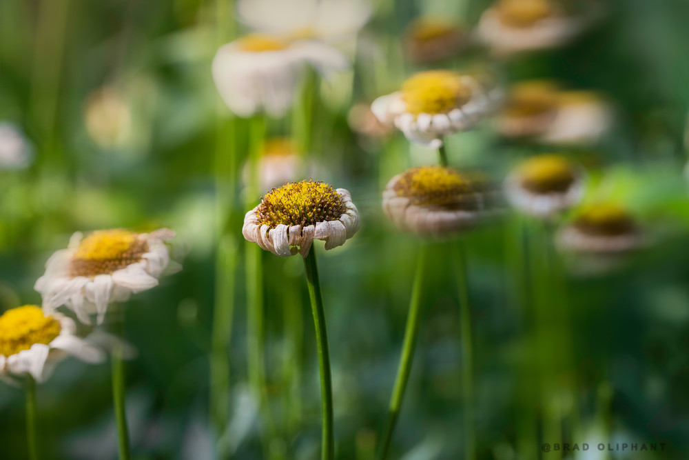fields of yellow Diasies, yellow and white Daisy flowers, art photographs of yellow Daisy flowers,
