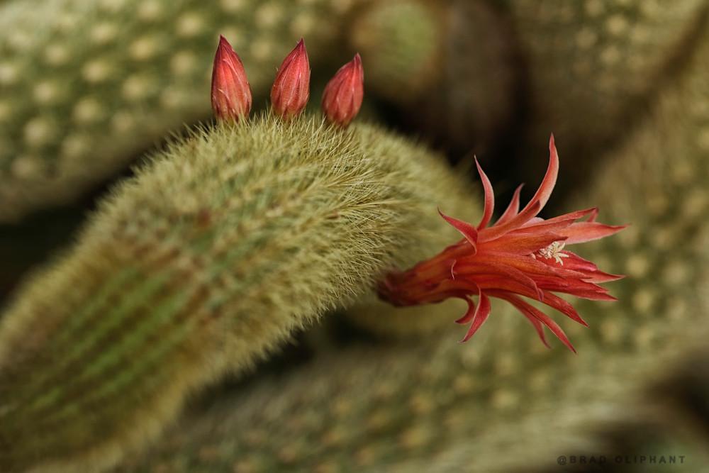 flowering cactus plants,