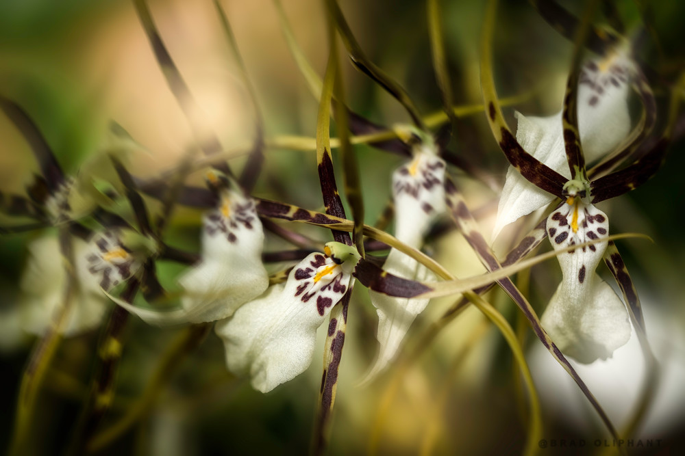 spider orchid flowers, orchid flowers,