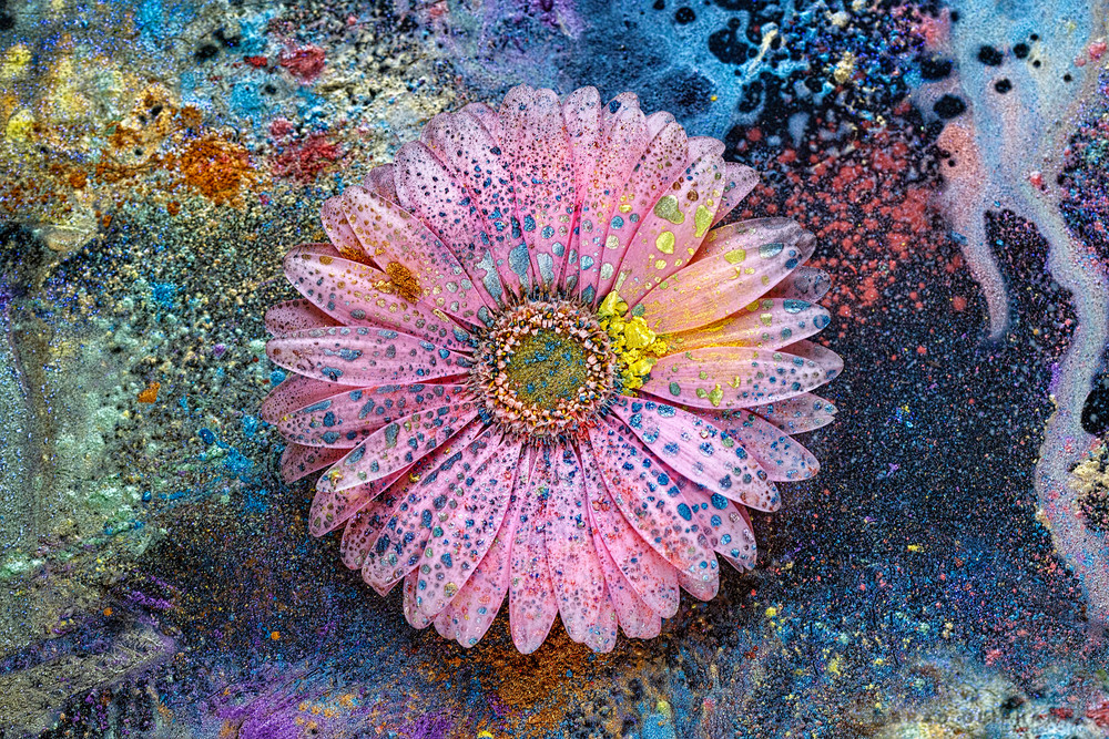 pink gerber daisy flower with paint and powder