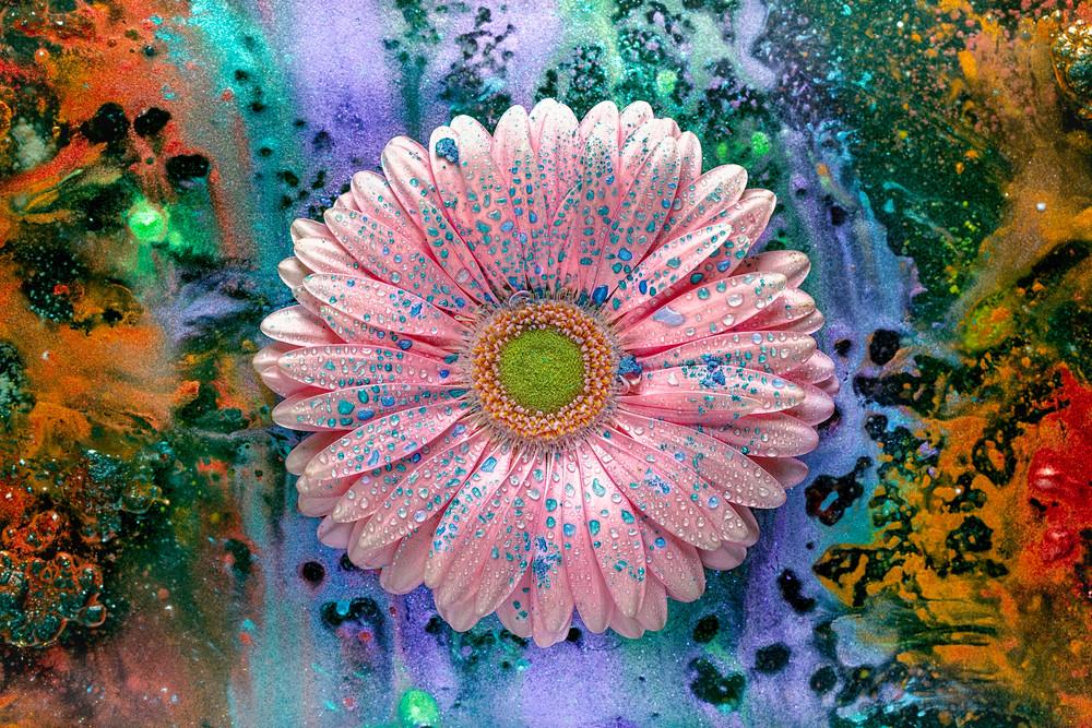 gerbera daisy pink flower