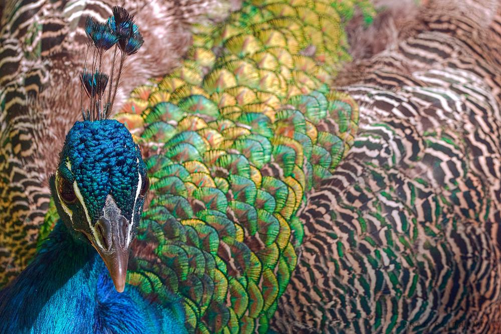 art photographs of male peacock birds, macro photographs of birds, colorful photographs of peacocks,