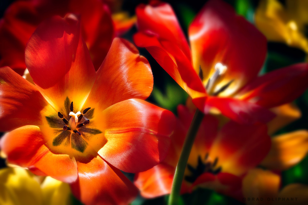 red tulips flowers, variegated tulip flowers,