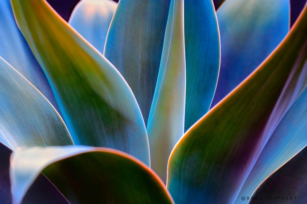 Agave cactus, cactus plants, blue cactus