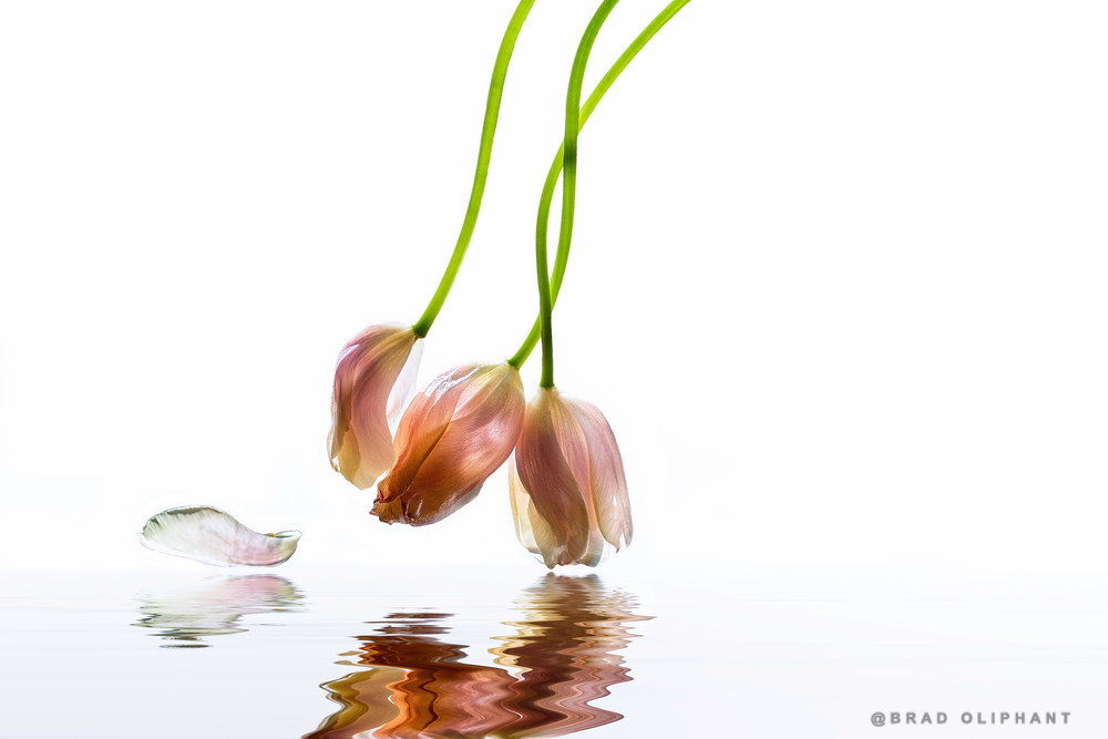 french tulips hanging over reflective water  |  Brad Oliphant