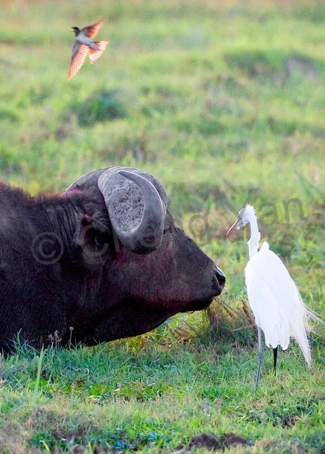 Buffalos And Wild Beasts 006 Photography Art | Cheng Yan Studio