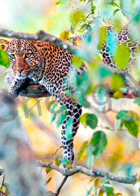 Leopards 009 Photography Art | Cheng Yan Studio