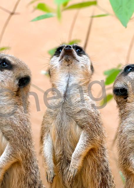 Meerkats 001 Photography Art | Cheng Yan Studio