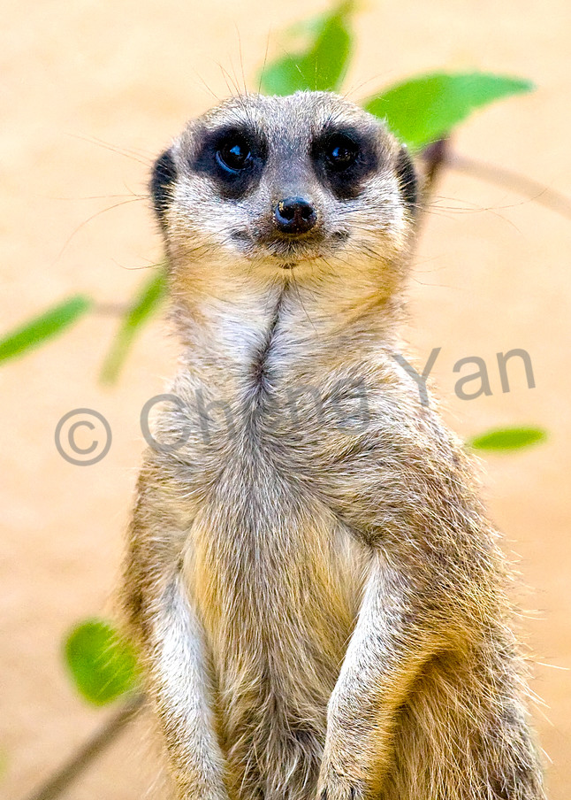 Meerkats 003 Photography Art | Cheng Yan Studio