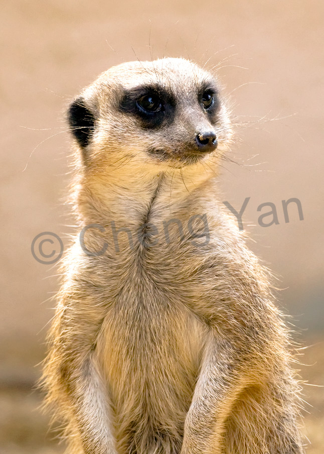 Meerkats 006 Photography Art | Cheng Yan Studio