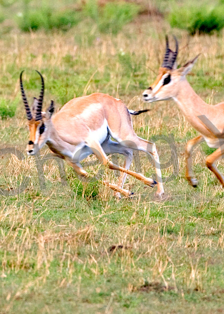 Other African Animals 010 Photography Art | Cheng Yan Studio