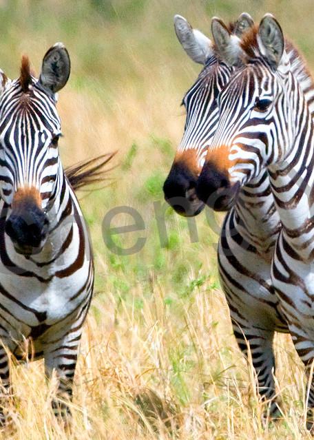 Zebras 004 Photography Art | Cheng Yan Studio