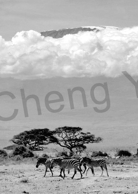 Zebras 013 Photography Art   Cheng Yan Studio