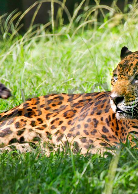 Jaguars 001 Photography Art | Cheng Yan Studio