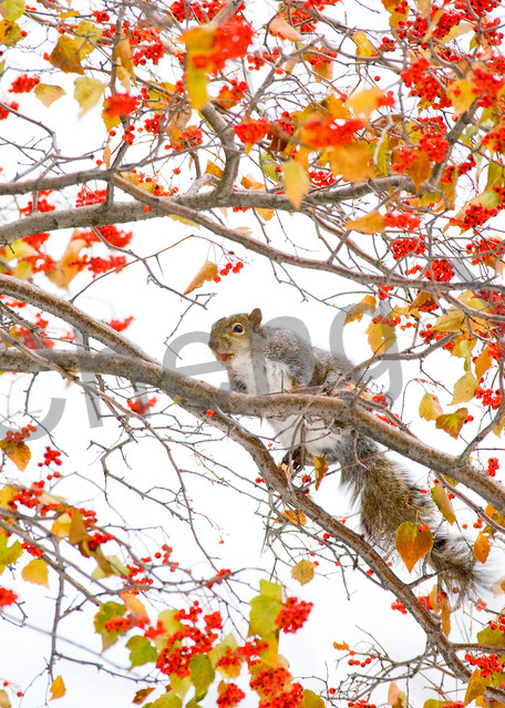Squirrels And Chipmunks 001 Photography Art | Cheng Yan Studio
