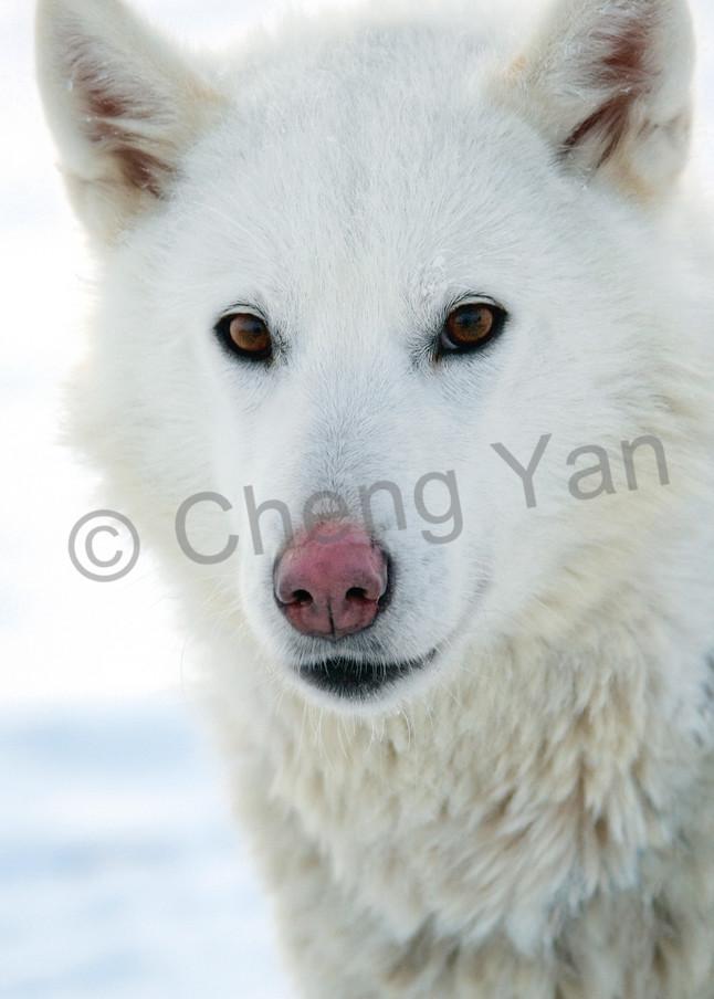 Husky 008 Photography Art | Cheng Yan Studio