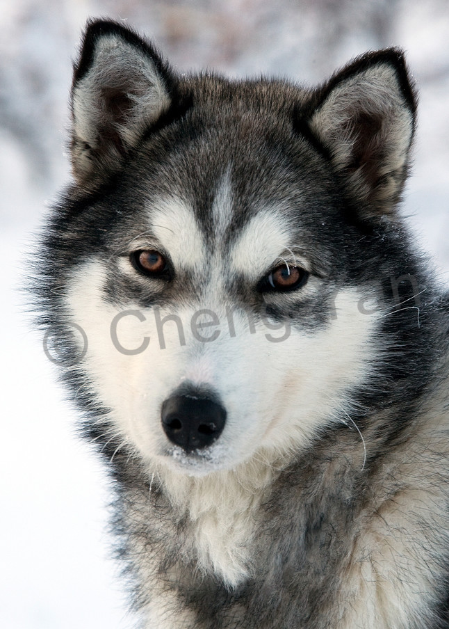 Husky 006 Photography Art | Cheng Yan Studio