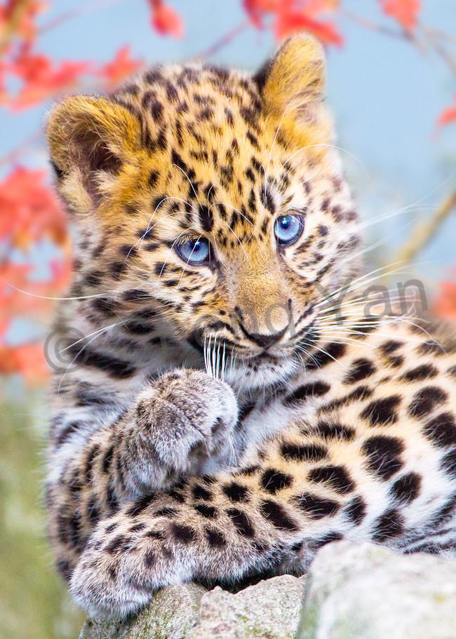 Amur Leopards 002 Photography Art   Cheng Yan Studio