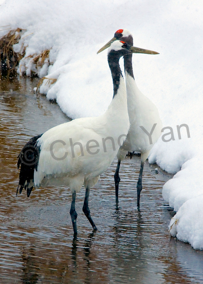 Red Crowned Cranes 032 Photography Art | Cheng Yan Studio