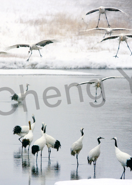 Red Crowned Cranes 034 Photography Art | Cheng Yan Studio