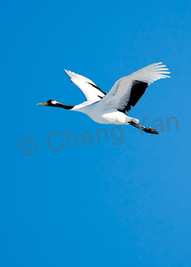 Red Crowned Cranes 038 Photography Art   Cheng Yan Studio