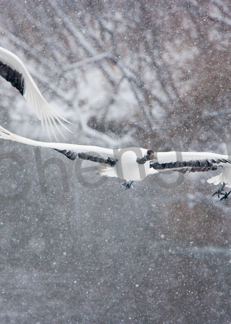 Red Crowned Cranes 036 Photography Art   Cheng Yan Studio