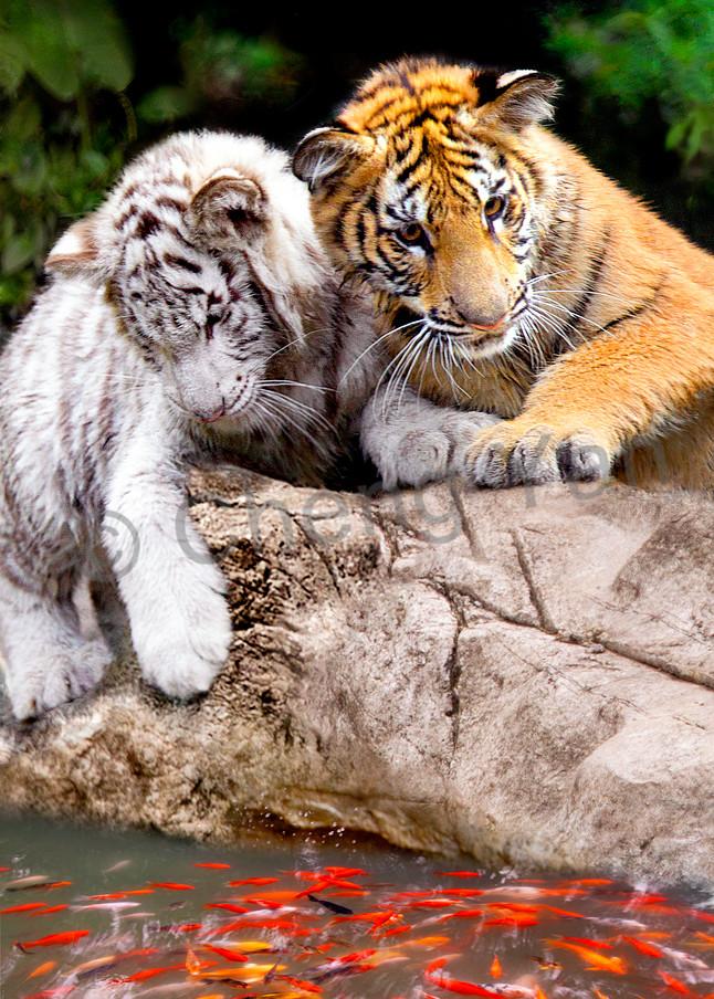 Tigers 006 Photography Art | Cheng Yan Studio
