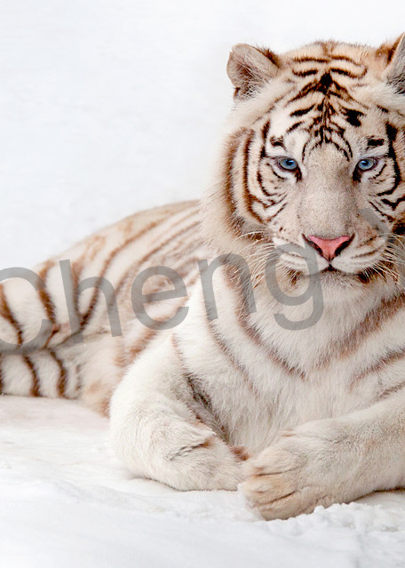 Tigers 013 Photography Art | Cheng Yan Studio