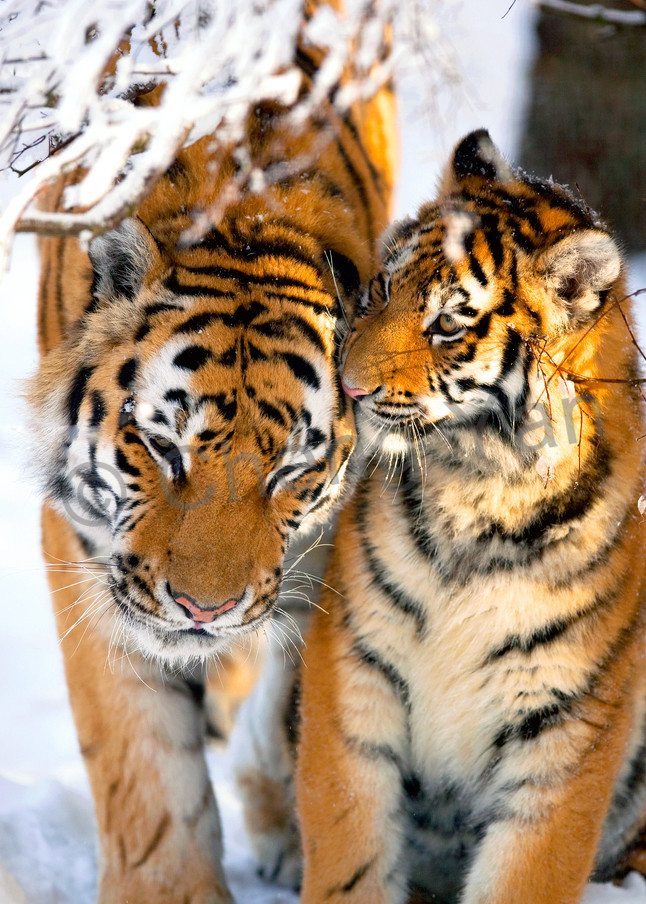 Tigers 027 Photography Art | Cheng Yan Studio